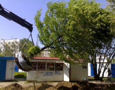 Пересадка крупного дерева в Калининграде